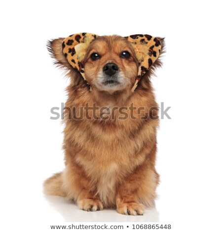 lovely brown metis dog with leaopard ears headband Stock photo © feedough