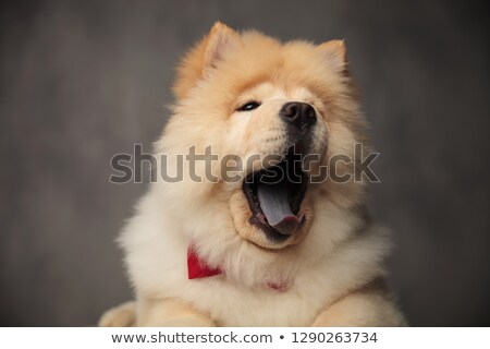 head of yawning chow chow looking to side while lying Stock photo © feedough