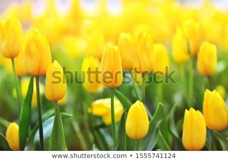 Foto stock: Amarelo · tulipas · Páscoa · cartão · mães · dia