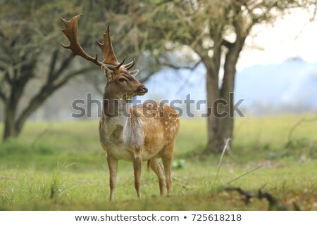 fallow deer stag in beautiful autumn forest Stock photo © taviphoto