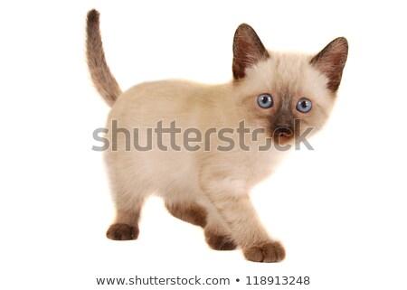 Kitten witte grappig veer speelgoed Stockfoto © CatchyImages