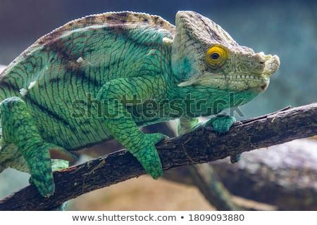 Camaleón Madagascar fauna piel grande especies Foto stock © artush