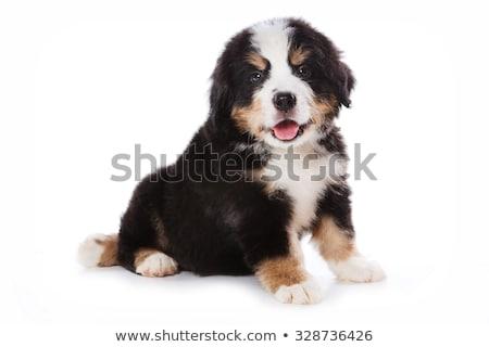 Adorable boyero de berna sesión blanco perro Foto stock © vauvau