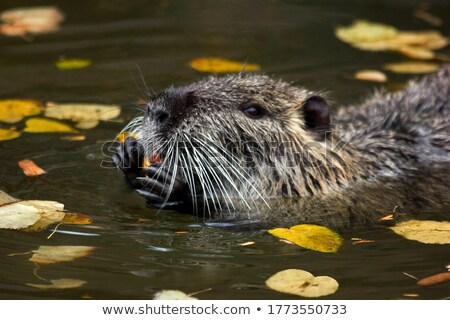 the nutria Stock photo © njaj