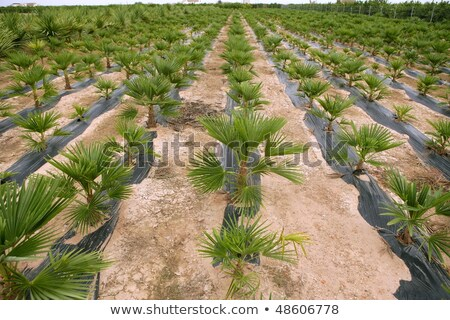 Agriculture of ornamental palm trees rows plantation  Stock photo © lunamarina