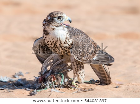 Falcon ritratto natura uccello animale Foto d'archivio © dirkr