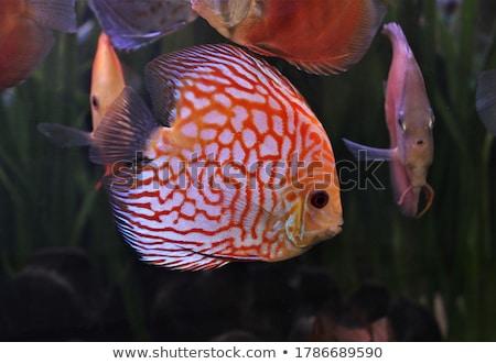 ディスカス · 魚 · カラフル · ショット · 青 - ストックフォト © smuki