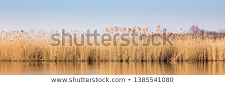 Water Reeds Stock photo © kitch