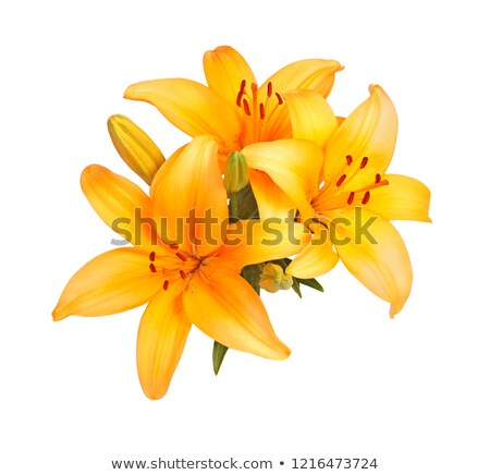 Asiatic Lillies in Bloom Stock photo © jenbray