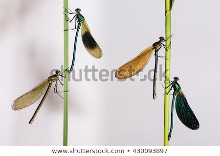Banded demoiselle   (Calopteryx splendens) Stock photo © chris2766