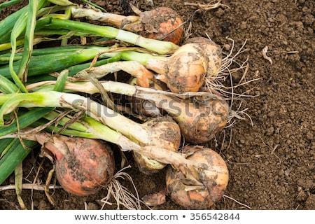 Foto stock: Cebollas · suciedad · alimentos · hoja · verde · tierra