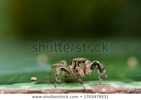 pók · zsákmány · kert · net · szemek · tigris - stock fotó © feelphotoart