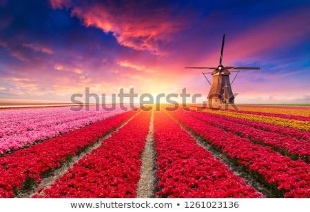 Tulipa campo Holanda natureza fundo planta Foto stock © phbcz