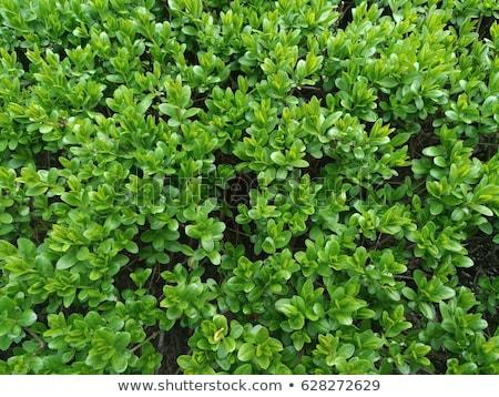 Evergreen  Boxwood plant background Stock photo © vavlt
