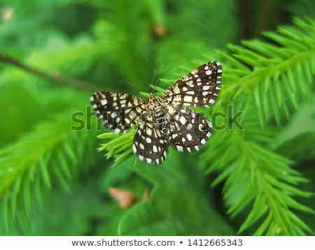 Latticed heath (Chiasmia clathrata) Stock photo © Rosemarie_Kappler