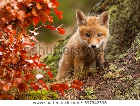 молодые · красный · Fox · ребенка · весны · трава - Сток-фото © jeffmcgraw
