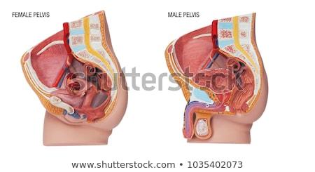 próstata · glândula · seção · transversal · diagrama · homem · saúde - foto stock © bluering