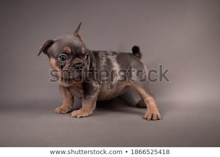 cute pug sitting in a grey photo studio stock photo © vauvau