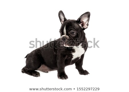 bulldog sitting in a white photo studio Stock photo © vauvau