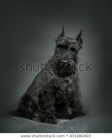 Miniature Schnauzer portrait in a gray studio background Stock photo © vauvau
