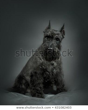 Foto d'archivio: Miniature Schnauzer Portrait In A Gray Studio Background