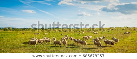 flock of sheeps grazing on the meadow stock photo © meinzahn