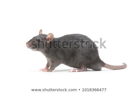 Animal cinza rato branco fundo Foto stock © OleksandrO