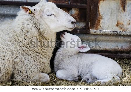 ребенка · ягненка · фермы · матери · овец - Сток-фото © latent
