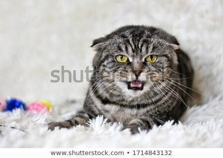 surprised tabby british fold cat lying looks up  Stock photo © feedough