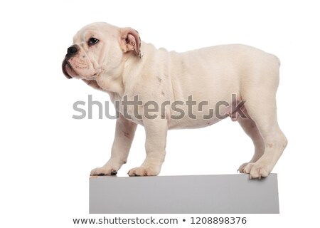 side view of cute english bulldog standing on grey crate Stock photo © feedough