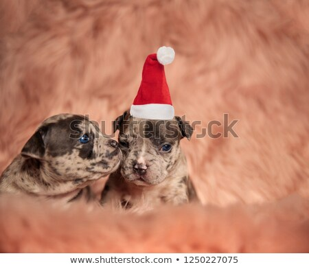 little american bully puppy sniffing its santa claus brother Stock photo © feedough