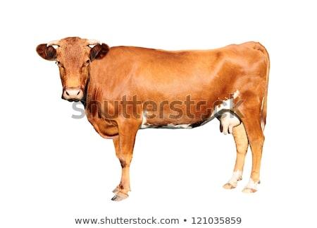 kahverengi · inek · ayakta · yeşil · alan · bakıyor - stok fotoğraf © Clivia