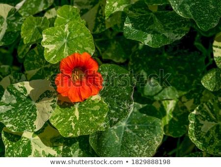 fényes · narancs · virágok · izzó · este · napfény - stock fotó © bobkeenan