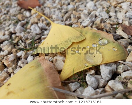 ginkgo biloba leaf drops of water and gravel stock photo © justinb