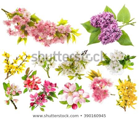 virágok · izolált · piros · rózsaszín · fehér · virág - stock fotó © smithore