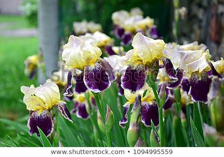 желтый · Iris · горизонтальный · весны · жизни · цвета - Сток-фото © stephaniefrey