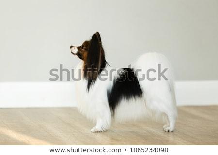 Izolált fehér mosoly kutya képzés kutyakölyök Stock fotó © silense
