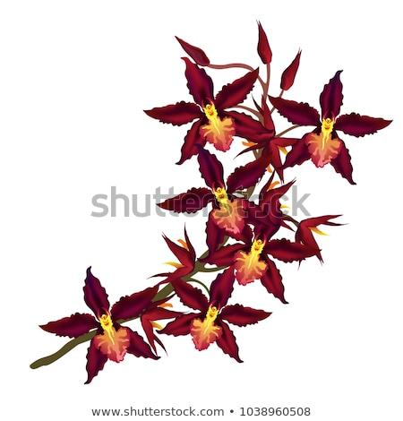 Rood Geel orchidee bloem geïsoleerd Stockfoto © stocker