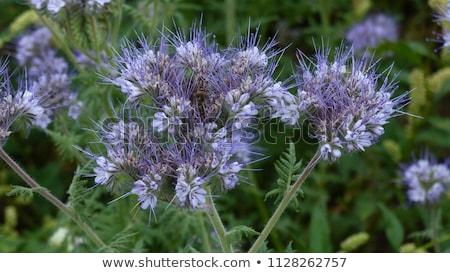 Buquê flores azul branco natureza aniversário Foto stock © Peredniankina