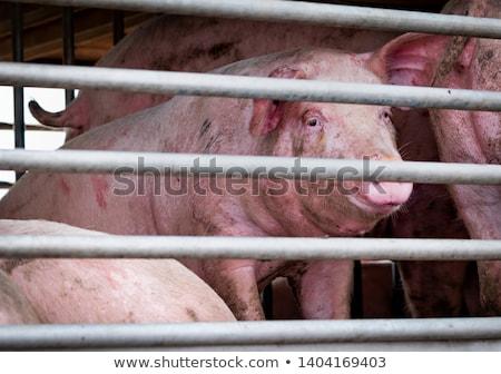 свинья · грипп · газета · Новости · знак · смерти - Сток-фото © sgursozlu