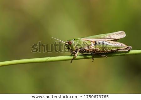 green grasshopper Stock photo © trala