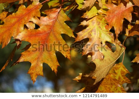 Red and green oak leafs (Quercus palustris) isolated on white ba Stock photo © BSANI