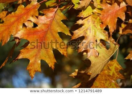 ramo · carvalho · vermelho · folhas · laranja - foto stock © bsani