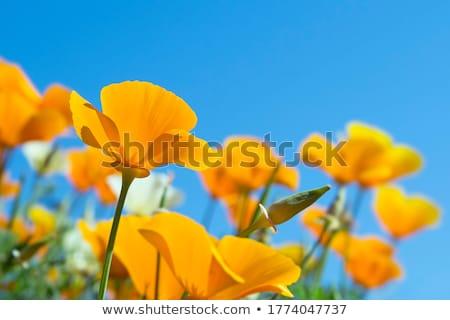 ケシ · 空 · 花 · 自然 · 美 · 夏 - ストックフォト © trala