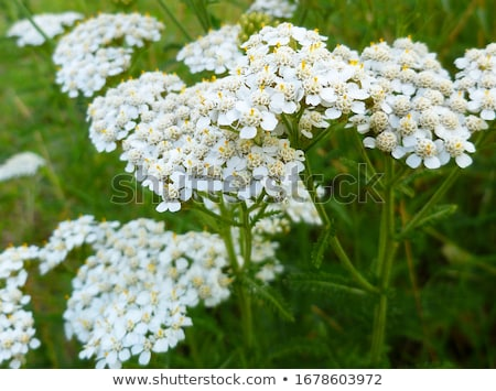 yarrow plant flowers macro Stock photo © sirylok