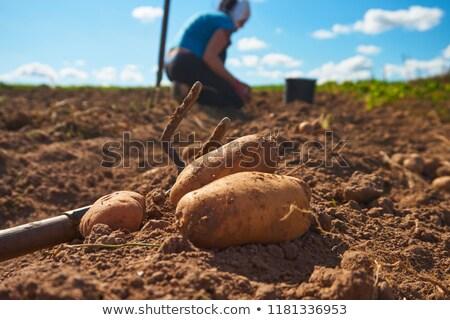 ジャガイモ · フィールド · 美しい · 緑 · 未熟 · 農業 - ストックフォト © marekusz