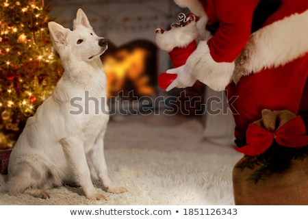 белый · пастух · собака · женщины · Pearl · ПЭТ - Сток-фото © cynoclub