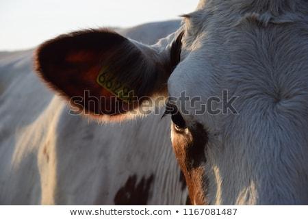 голландский женщины фермер смешные Голландии Сток-фото © ivonnewierink