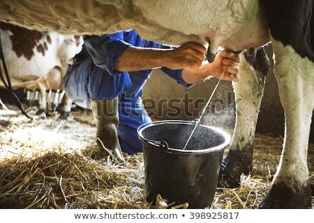 cow milking Stock photo © adrenalina