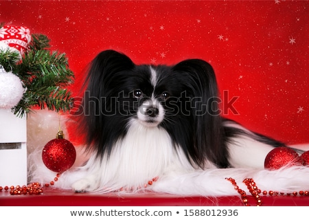 Sweet papillon in the white photo studio Stock photo © vauvau